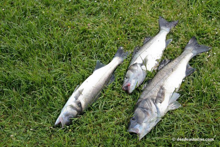 Bassfischen