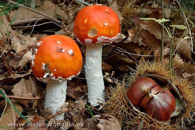 Mushrooms of Asturias