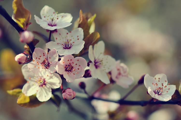 Apple Tree Bloom Week 2019